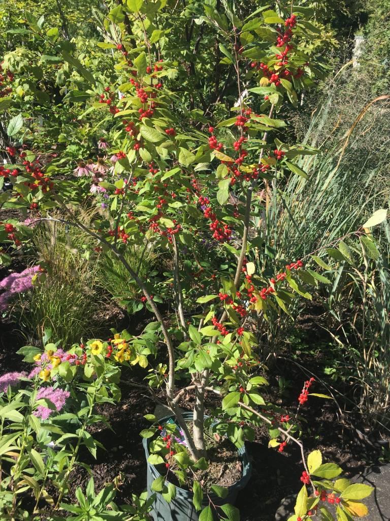 Ilex vert. Spriber Holly - Winterberry, Berry Nice, #7