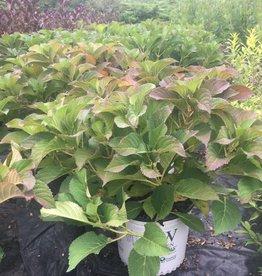 Hydrangea serrata MAK20 Hydrangea - Sawtooth, Tuff Stuff, #3