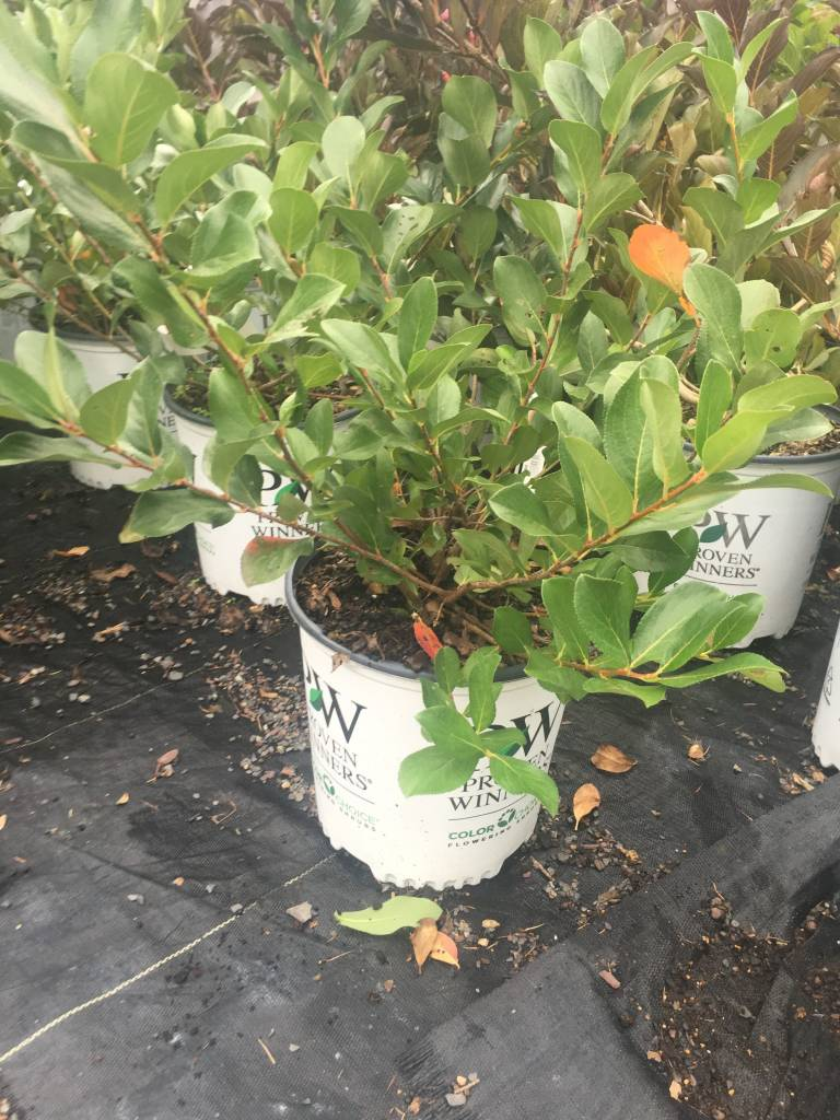 Aronia mel. Low Scape Mound Chokeberry, #3