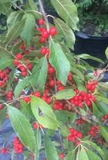 Ilex vert. FarrowBP Holly - Winterberry, Berry Poppins, #3