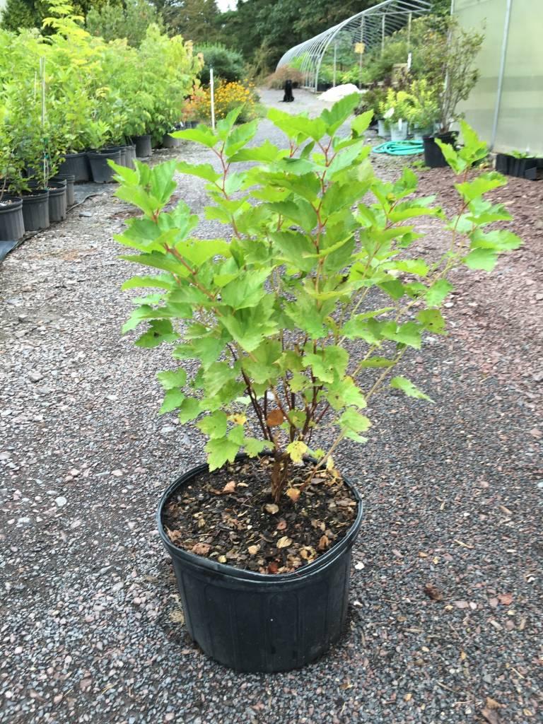 Native Shrub Physocarpus opul. Ninebark native #3
