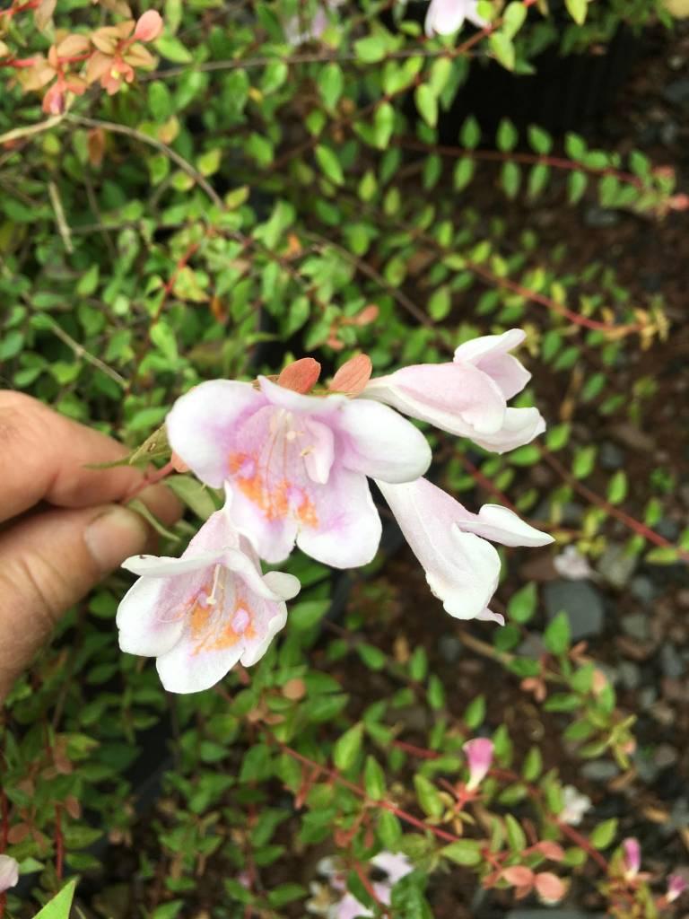 Abelia Lynn Abelia, Pinky Bells, #3