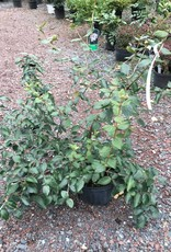 Viburnum x burk. Viburnum - Burkwood, 2-3'