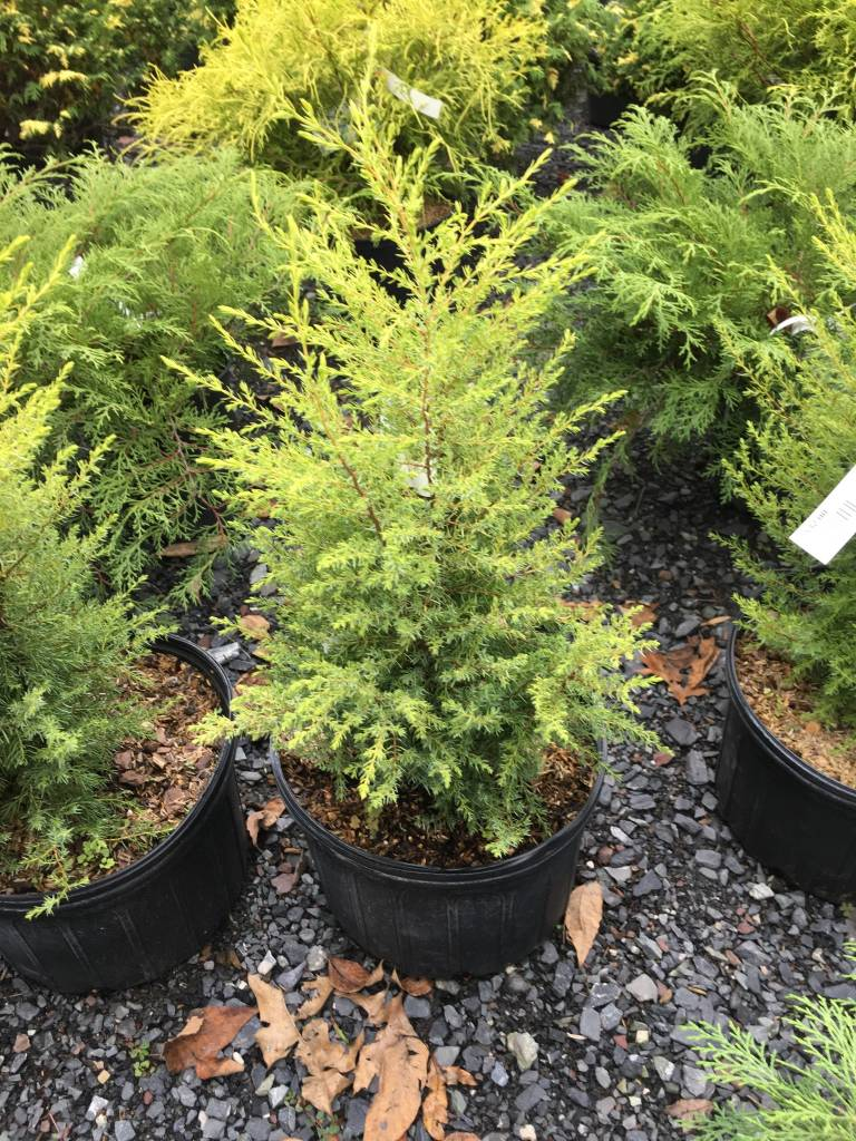 Juniperus communis Gold Cone Juniper, Common - Gold Cone, #3