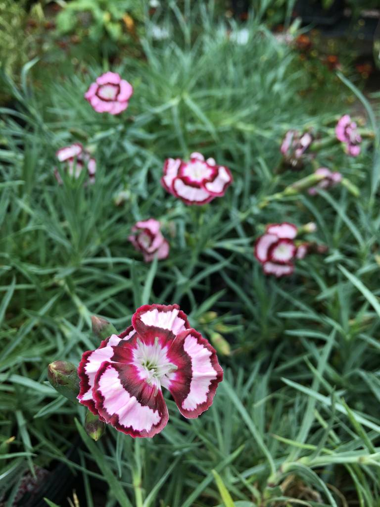 Dianthus Dessert Raspberry Swirl , #1
