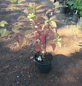 Cornus sericea, Dogwood - Red Twig, Native, #3