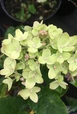 Hydrangea panic. Jane Hydrangea - Hardy, Little Lime, #3