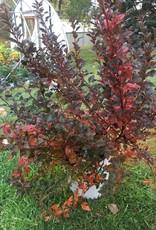 Physocarpus opul. SMPOTW Ninebark, Tiny Wine, #3