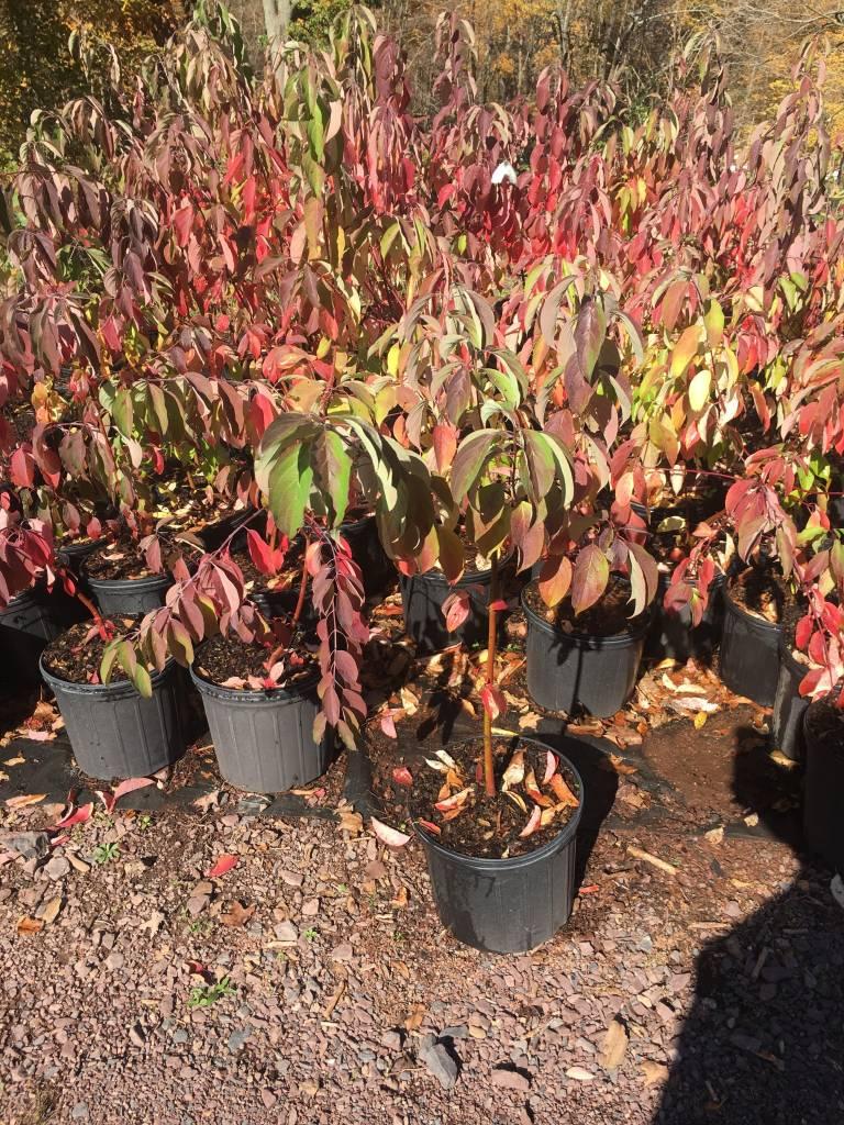 Native Shrub Cornus Amomum, Dogwood Silky, #3