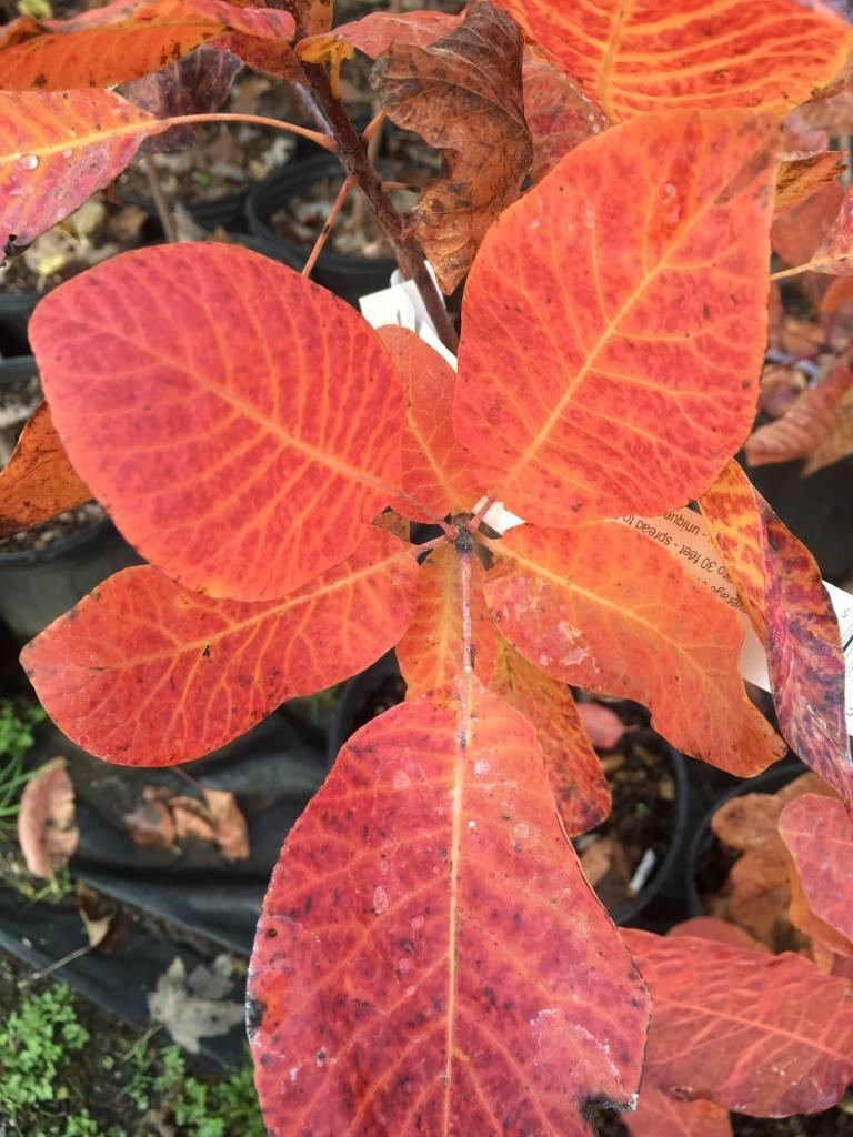 Cotinus obovatus Smoketree, American, #3
