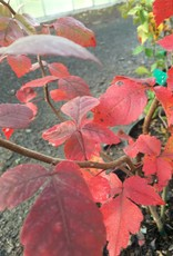 Native Shrub Rhus aromatica, Fragrant Sumac, #3