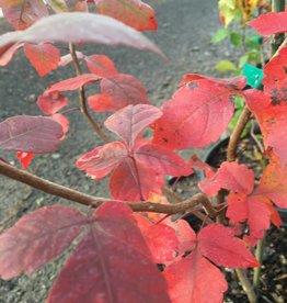 Rhus aromatica, Fragrant Sumac, #3