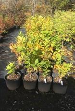 Calycanthus floridus Sweetshrub, #3
