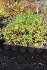 Physocarpus op, Ninebark native #3