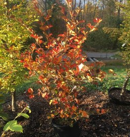 Hamamelis vernalis Purpurea Witch-hazel, Purpurea, #5