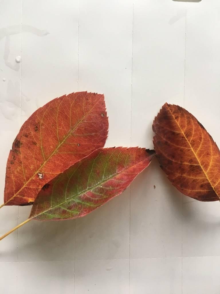 Amelanchier arborea spp Laevis, Serviceberry Alleghany #3