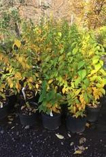 Betula lenta, Birch, sweet #3