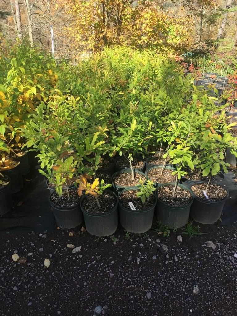Quercus acutissima, Oak Sawtooth #3