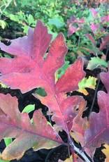 Quercus macrocarpa, Oak, Bur, #3
