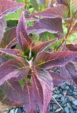 Hydrangea serrata MAKD Hydrangea - Sawtooth, Tiny Tuff Stuff, #3