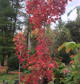 Native Tree Acer rubrum Maple - Red, #3