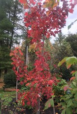 Acer rubrum Maple - Red, #15