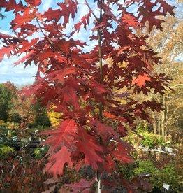 Native Tree Quercus rubra Oak, Red, #3