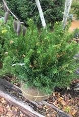 Taxus x media Densiformis Yew - Japanese, Spreading, 24-30