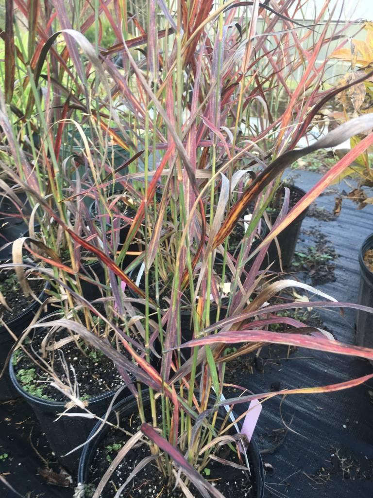 Panicum virgatum Hot Rod Grass - Ornamental Switch, Hot Rod #1