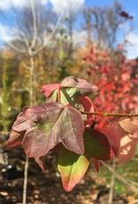 Acer buergeranum Maple - Trident, #15
