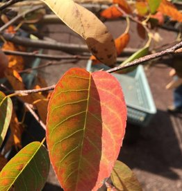 Amelanchier x gran. Autumn Bri. Serviceberry - Apple, Autumn Brilliance, 2-2.5