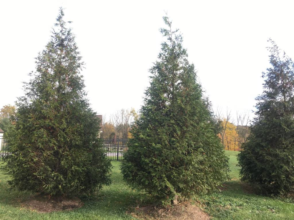 Thuja x Green Giant Arborvitae, Green Giant, #3