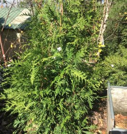 Thuja x Green Giant Arborvitae, Green Giant, #5