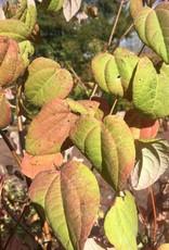Cercidiphyllum jap., Katsura Tree, #2