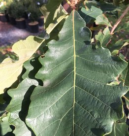Quercus Bicolor- Oak, Swamp white #3