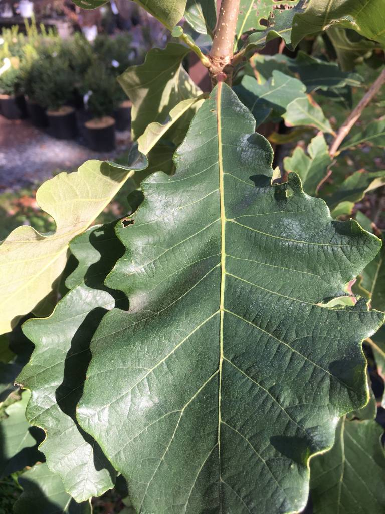 Quercus Bicolor- Oak, Swamp white #5