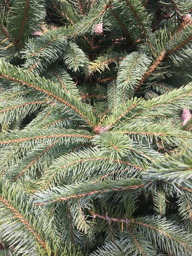 Picea abies Spruce - Norway, 6-7