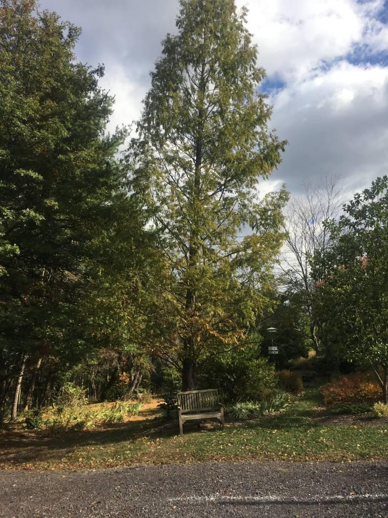 Metasequoia glyptostroboides Dawn Redwood,  #3
