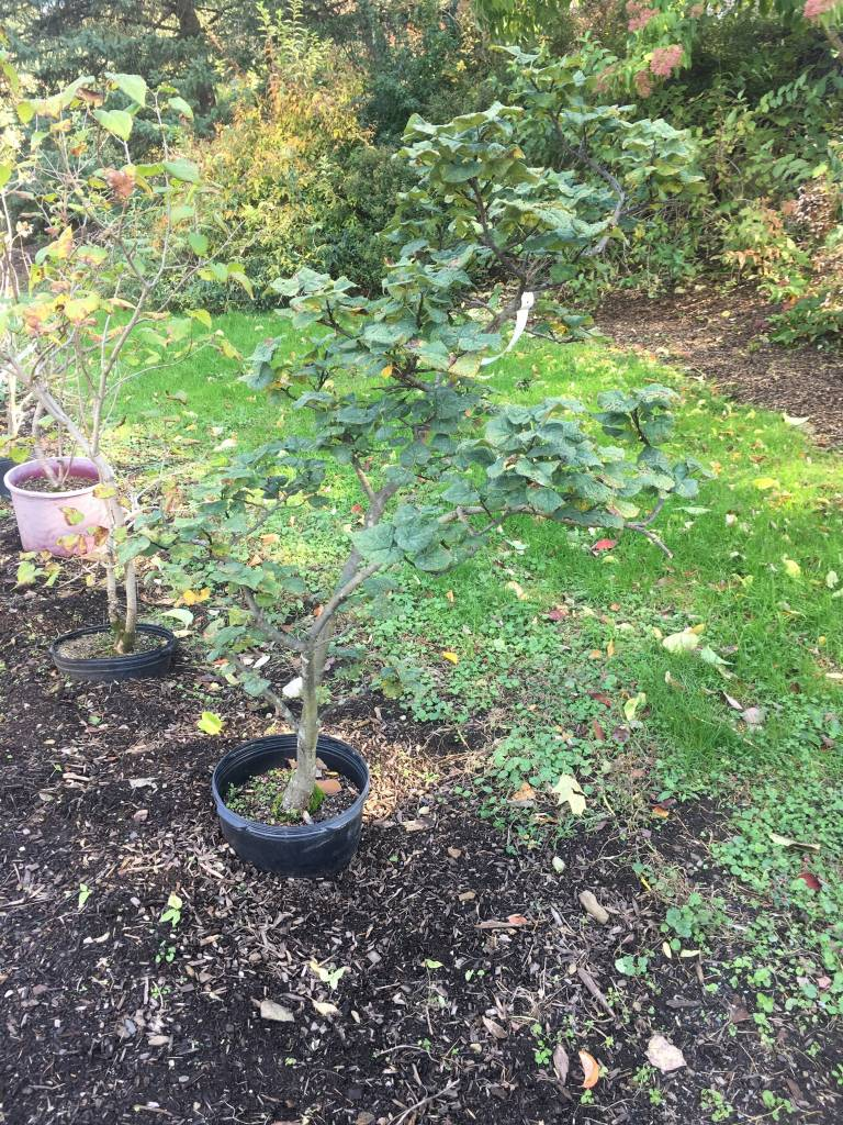 Cercis can. Little Woody Redbud - Eastern, Little Woody, #7