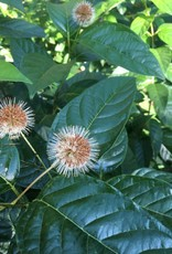 Cephalanthus occ. SMCOSS Buttonbush, Sugar Shack, #3