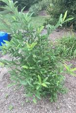 Lindera glauca var. salicifolia Spicebush - Greybush, #3