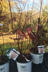 Cornus stolon. Farrow Dogwood - Red Twig, Arctic Fire, #3