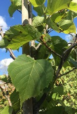 "Tilia euchlora Redmond Linden, Redmond, 2-2.5"" cal"