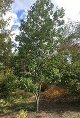 Magnolia virginiana Magnolia - Sweetbay, #15