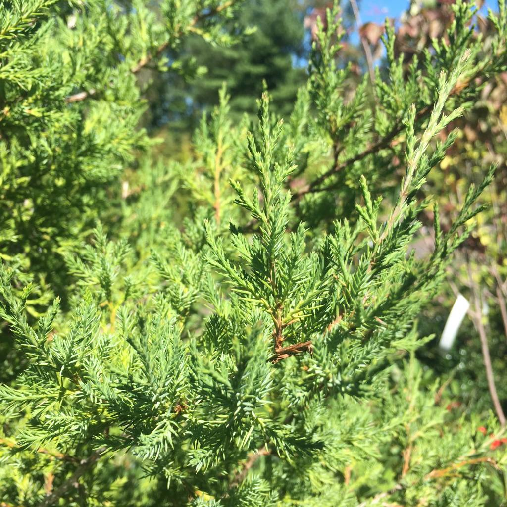 Juniperus virginiana Eastern Redcedar, #3