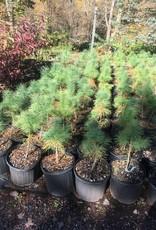 Pinus strobus Pine - Eastern White, #3