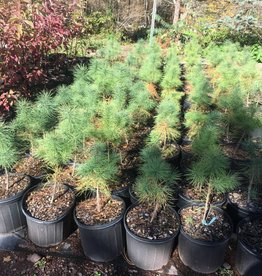 Native Tree Pinus strobus Pine - Eastern White, #3