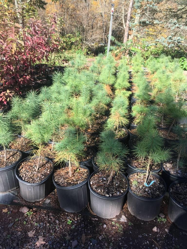 Native Tree Pinus strobus Pine - Eastern White, #3