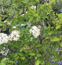 Native Shrub Viburnum prunifolium Blackhaw Viburnum, #3