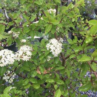Viburnum prunifolium Blackhaw Viburnum, #3